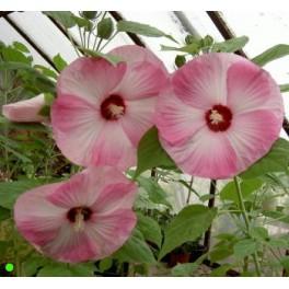 HIBISCUS moscheutos Luna Pink Swirl  5 semen