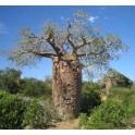 "ADANSONIA fony (Adansonia rubrostipa) ""Lahvový strom"" 2 semena"