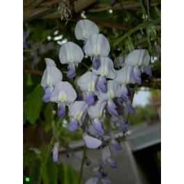 WISTERIA sinensis 2 semena