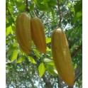 "PARMENTIERA aculeata ""Okurkový strom"" 5 semen"