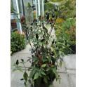 PAPRIKA Black Plum (Capsicum annuum) 10 semen