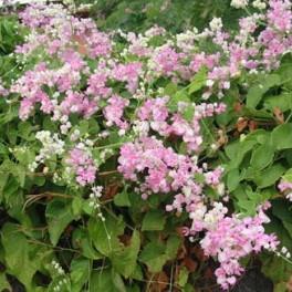 "/ZB/ ANTIGONON  leptopus Pink ""Coral Vine"" 50 semen"