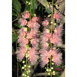 /ZB/ BARRINGTONIA racemosa 50 semen