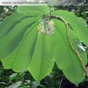 "PASSIFLORA macrophylla ""Stromová mučenka"" 3 semena"