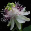 PASSIFLORA resticulata 3 semena