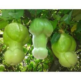 """PASSIFLORA guadrangularis (Erotica) """"Penis Passionfruit"""" 3 semena"""