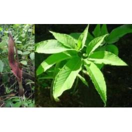 SAUROMATUM venosum (Vúdú lilie) 6 semen