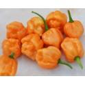PAPRIKA chilli Bahamian Goat (Capsicum chinense) 10 semen