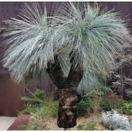 "XANTHORRHOEA glauca ""Modrá stromová tráva"" 5 semen"
