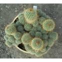 AYLOSTERA sp. Köhres 30 semen