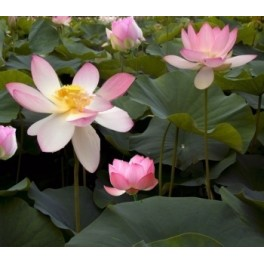 "NELUMBO nucifera ""Indický lotus"" 3 semena"