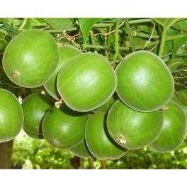 """SIRAITIA grosvenorii (Momordica grosvenorii) """"Budhovo ovoce"""" 3 semena"""
