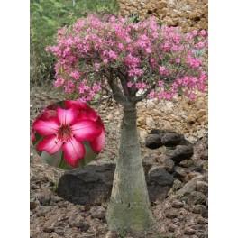 """ADENIUM obesum multiflorum """"Impala Lily"""" 2 semena"""