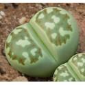 "LITHOPS dorotheae C.124 ""Živé kameny"" 10 semen"