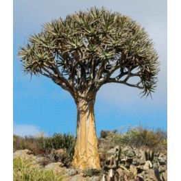 ALOE dichotoma (Aloidendron dichotomum) 4 semena