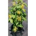 "CANANGA odorata var. fruticosa ""Zakrslá Ylang-Ylang"" 3 semena"