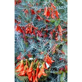 SUTHERLANDIA frutescens 4 semena