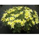 BIDENS ferulifolia Taka Tuka White&Yellow 20 semen