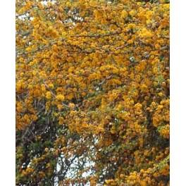 Acacia farnesiana 5 semen