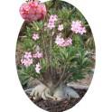 Adenium arabicum (PNW: Petch Na Wang) 2 semena