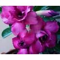 """Adenium obesum Double Siam Violet """"Pouštní růže"""" 3 semena"""
