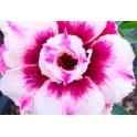 """Adenium obesum Double Blueberry """"Pouštní růže"""" 3 semena"""
