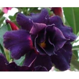 """Adenium obesum Groggy """"Pouštní růže"""" 3 semena"""