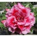 """Adenium obesum 6787 """"Pouštní růže"""" 3 semena"""