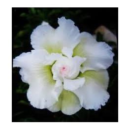 """Adenium obesum White """"Pouštní růže"""" 3 semena"""