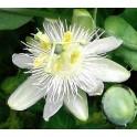 Passiflora subpeltata 5 semen