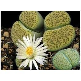"""Lithops fulviceps var. aurea C.363  """"Živé kameny"""" 8 semen"""