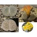 "Lithops lesliei ssp. lesliei var. venteri mix ""Živé kameny"" 10 semen"