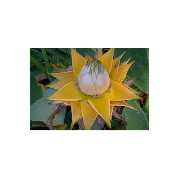 musella lasiocarpa golden lotus banana 3 semena. Black Bedroom Furniture Sets. Home Design Ideas