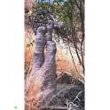 ADENIA cladosepala 2 semena