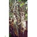 ADENIA isaloensis 2 semena