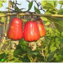 """ANACARDIUM occidentale """"Kešu oříšek"""" 2 semena"""