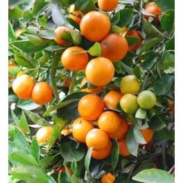citrus mitis calamondin 5 semen