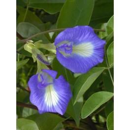 CLITORIA ternatea 5 semen