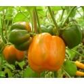 PAPRIKA Orange Bell 15 semen
