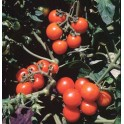BIO RAJČE Washington Cherry (Solanum lycopersicum) 20 semen