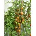 BIO RAJČE Black Cherry (Solanum lycopersicum) 20 semen
