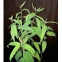 EUCALYPTUS citriodora 10 semen