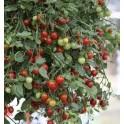 RAJČE Cherry Falls 20 semen