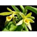 VANILLA planifolia 20 semen