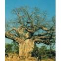 "ADANSONIA digitata""Baobab"" 2 semena"