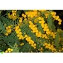 "ACACIA cardiophylla ""West Wyalong Wattle"" 20 semen"