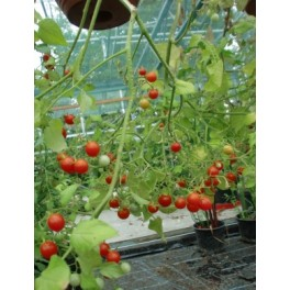 RAJČE Cherry cascade (Solanum lycopersicum) 20 semen